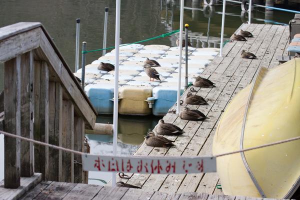 カルガモ140203(井頭公園)0102014.jpg