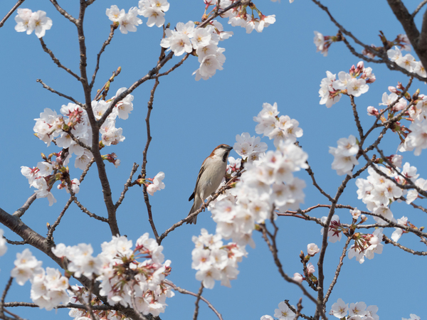 ニュウナイスズメ180328(鴻巣川里公園)82903.JPG