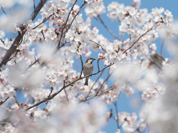ニュウナイスズメ180328(鴻巣川里公園)83111.JPG