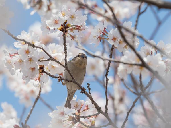 ニュウナイスズメ180328(鴻巣川里公園)83180.JPG