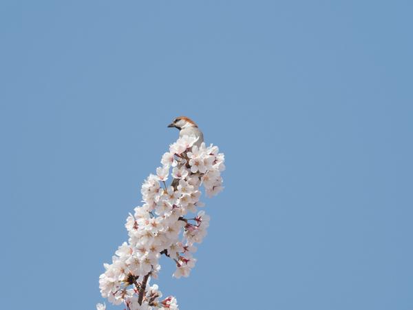 ニュウナイスズメ180328(鴻巣川里公園)83400.JPG